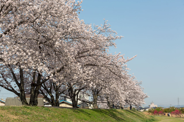 笹が瀬川河川敷桜