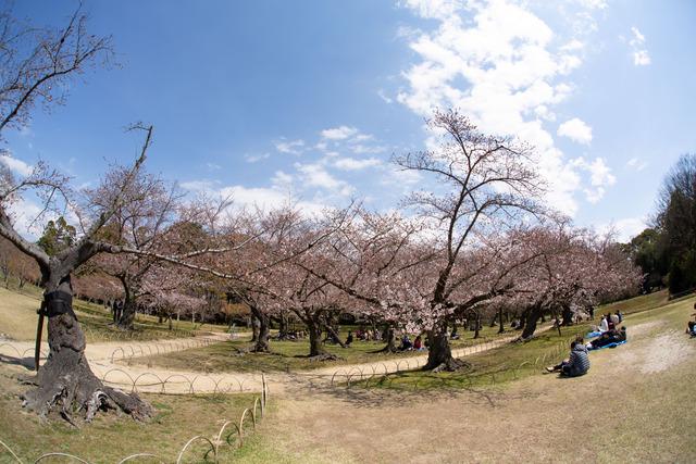 桜1616