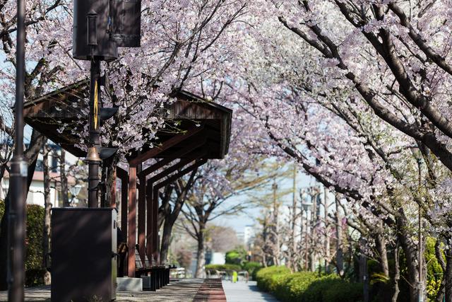 桜4446