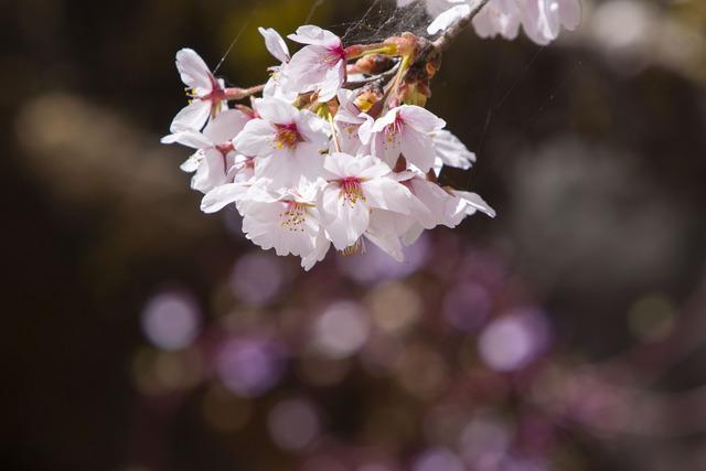 桜408A1730