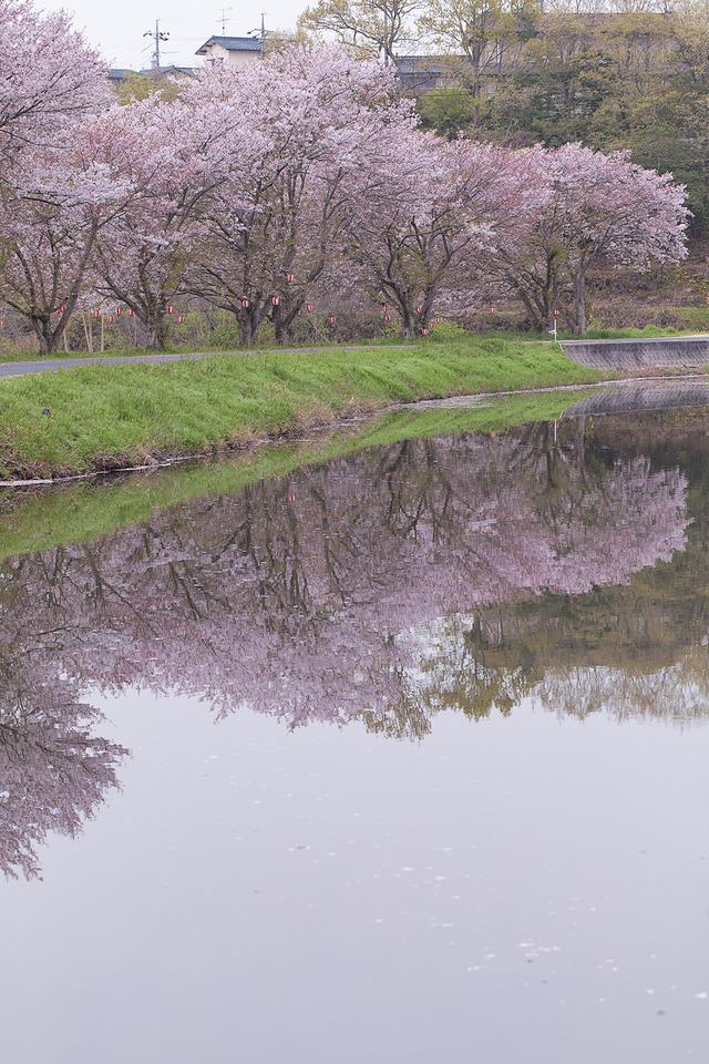 桜4497