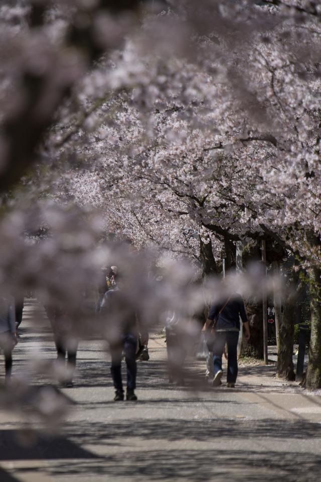 桜408A1718