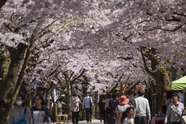 桜408A1781