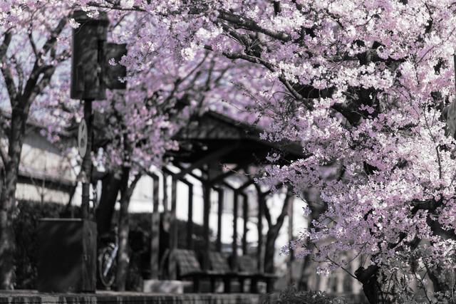 桜4443M