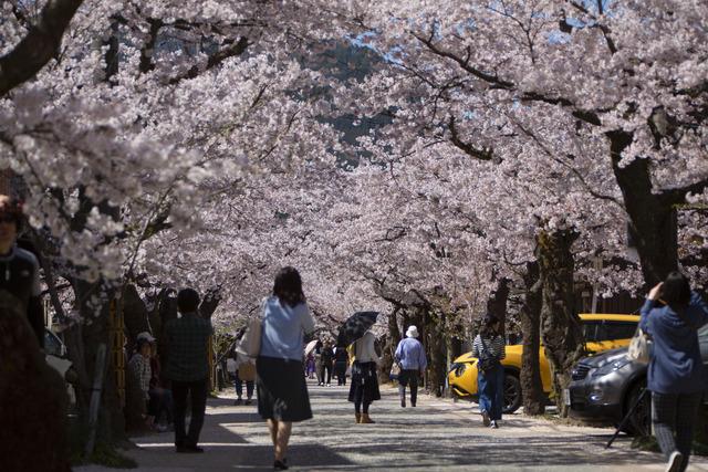 桜408A1720