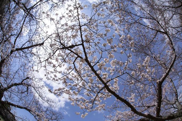 桜1608