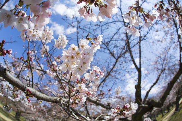 桜1623