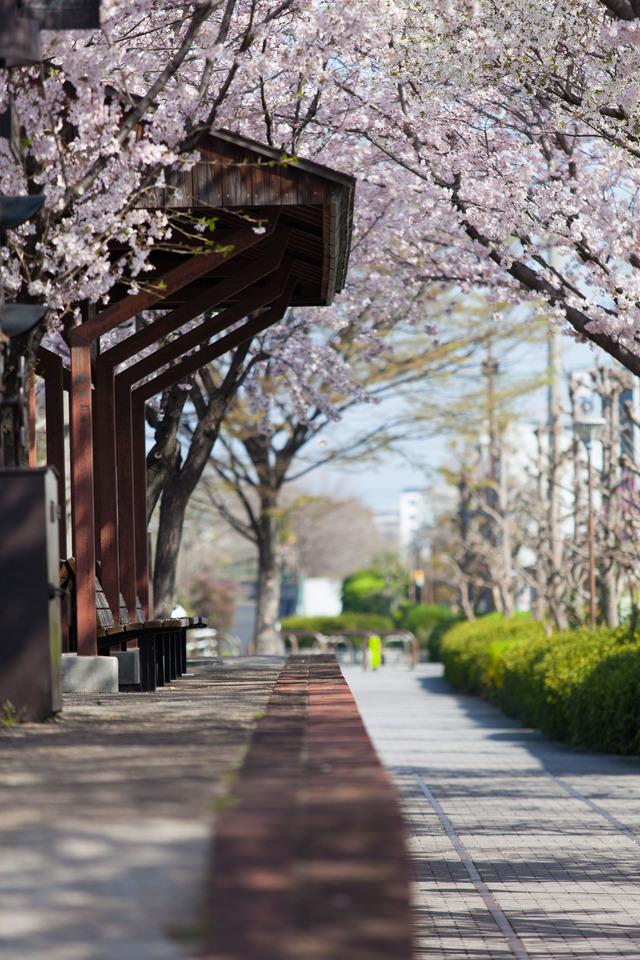 桜4445