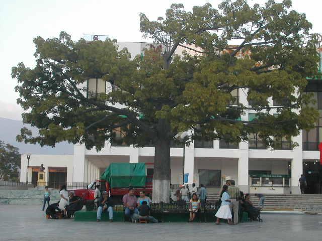 セイバの木 それは、マヤの人々にとって聖なる木であった。 マヤが栄えた地区の今現在... マヤの