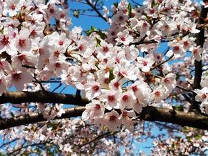 桜(天久沢公園)
