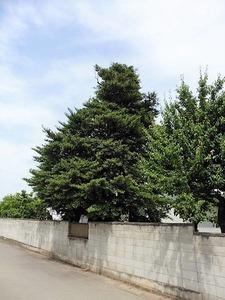 上植木のサカキ (2)
