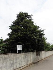 上植木のサカキ (1)