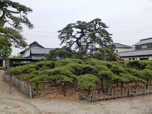 萩原の大笠松 (2)