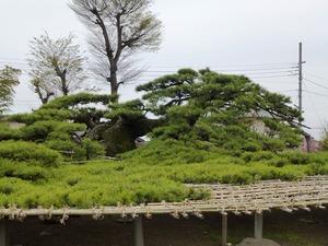 菅原神社(連取の松) (3)