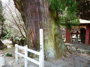 小平の大杉 (3)