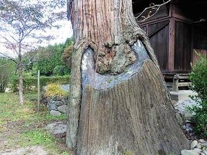 平五良観音の大杉 (2)