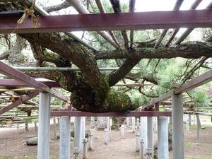 菅原神社(連取の松) (5)