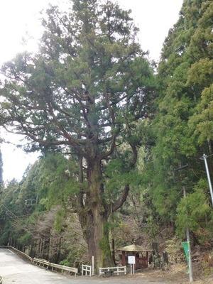 小平の大杉 (1)