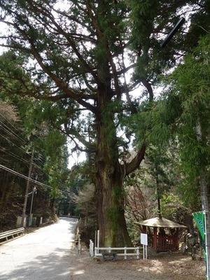小平の大杉 (2)
