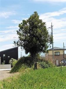 倉賀野・一本杉 (1)