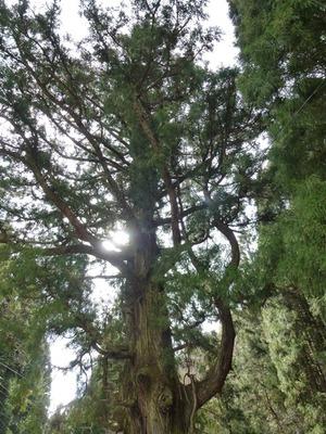 小平の大杉 (4)