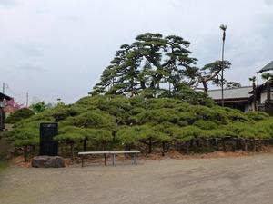 萩原の大笠松 (1)