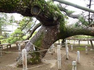 菅原神社(連取の松) (4)