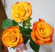 オレンジ色 バラ