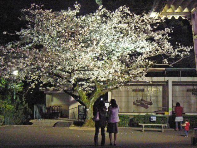 18 動物園 桜