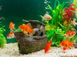 金魚の世界にも、イジメって有るのな。