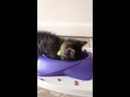 ゴハンを食べてたらそのまま顔をうずめて寝てしまった子ネコ