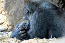 ゴリラはチンパンジーより人間に優しい