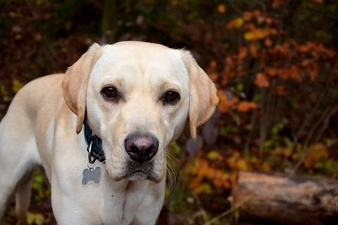 人気の犬種ランキング、26年連続ラブラドール・レトリバーが首位 2位ジャーマン・シェパード