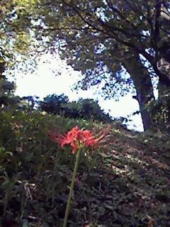 四ッ谷の彼岸花