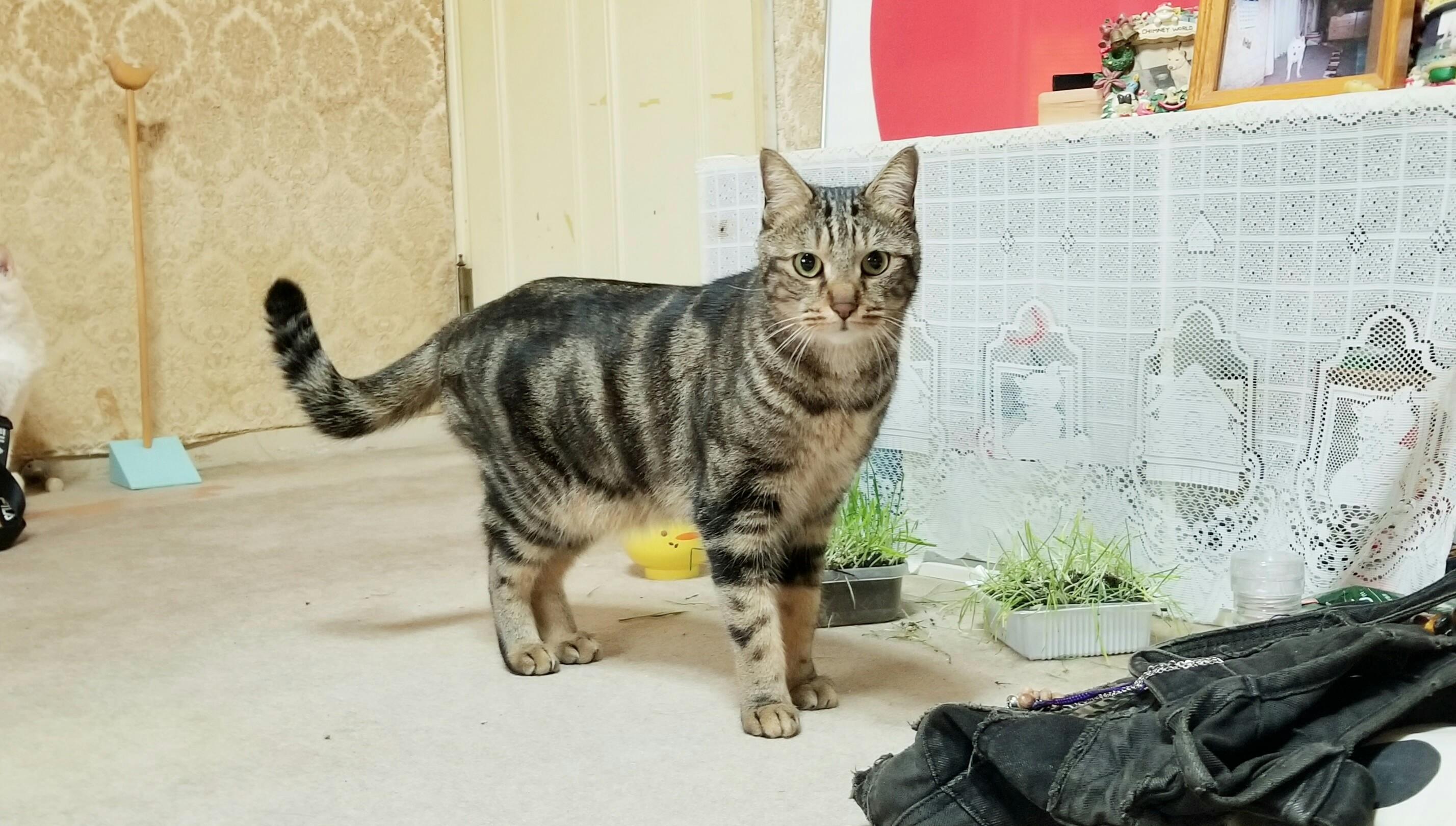 可愛い家猫にゃんこラブ好き黒色縞かっこいい綺麗凛々しい画像写真