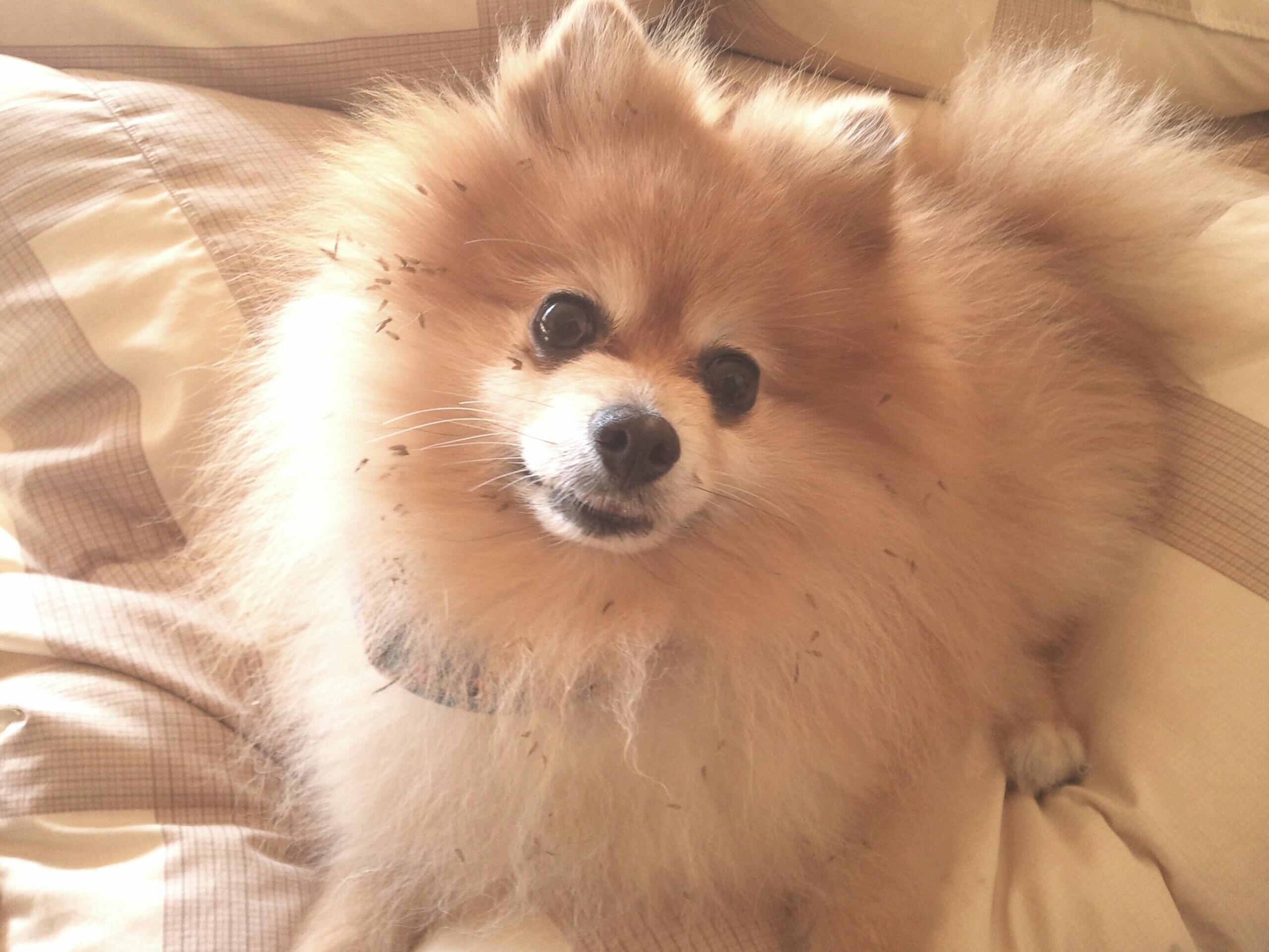 kawaiijapanかわいいポメラニアン老犬天国の愛犬おちゃめなアイドル