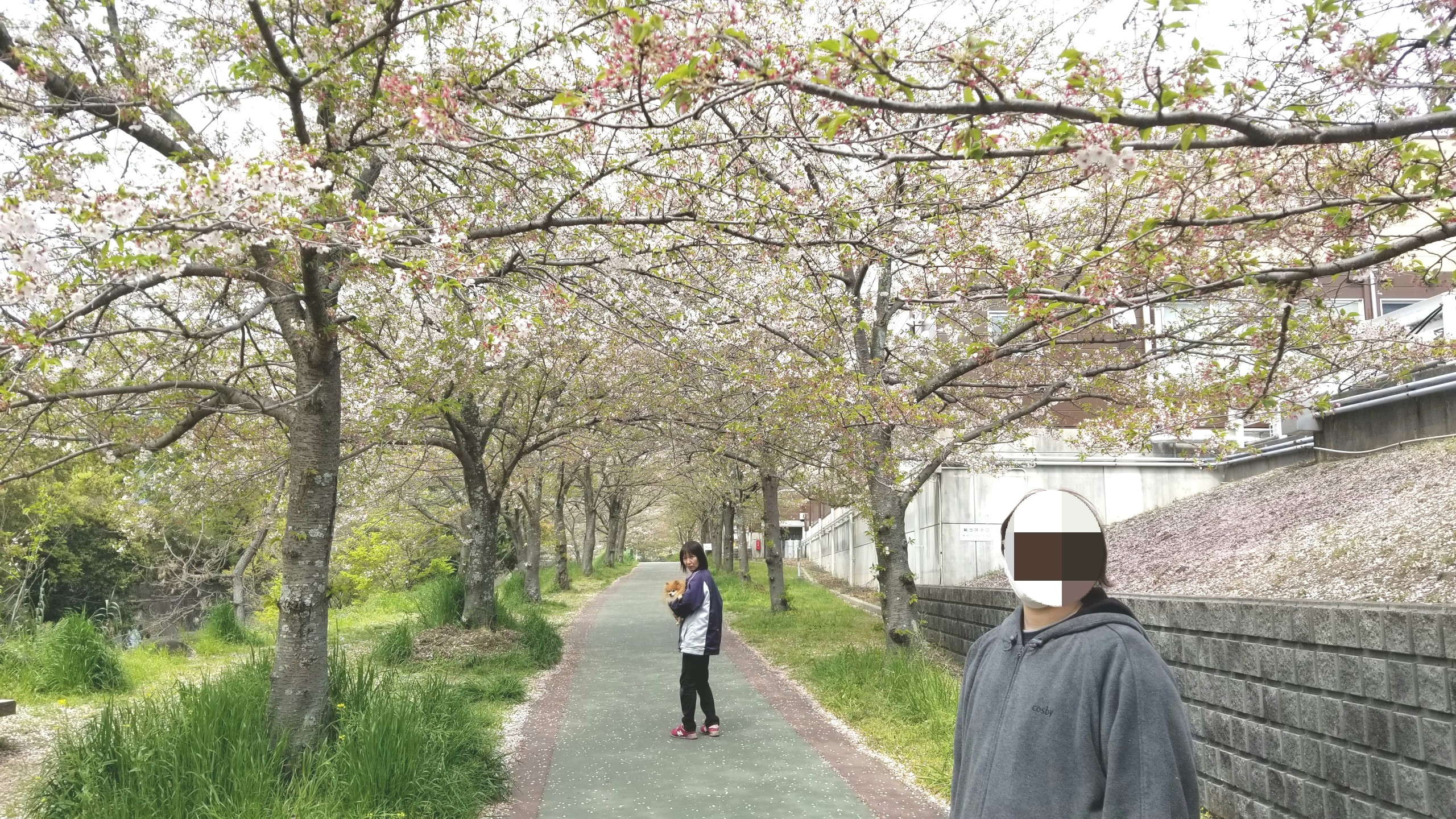 おばいとこお花見,桜並木咲く時期遅かった,綺麗満開,ポメラニアン
