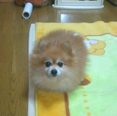 おもしろいペット,犬,ポメラニアン,フローリング,床,モデル並可愛い