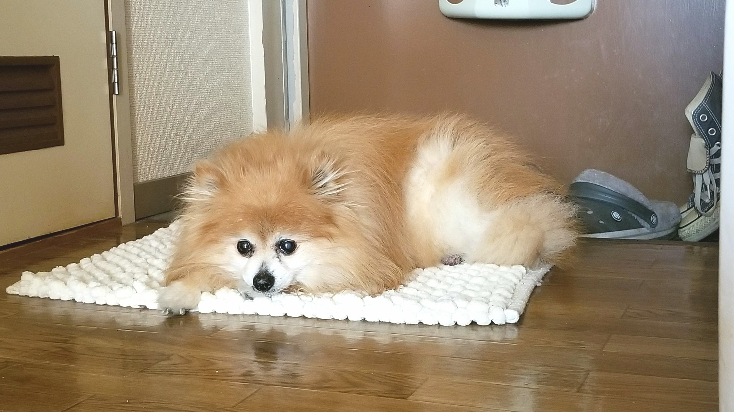 ポメラニアンかわいい犬ぬいぐるみみたいもこもこサラサラ艶々