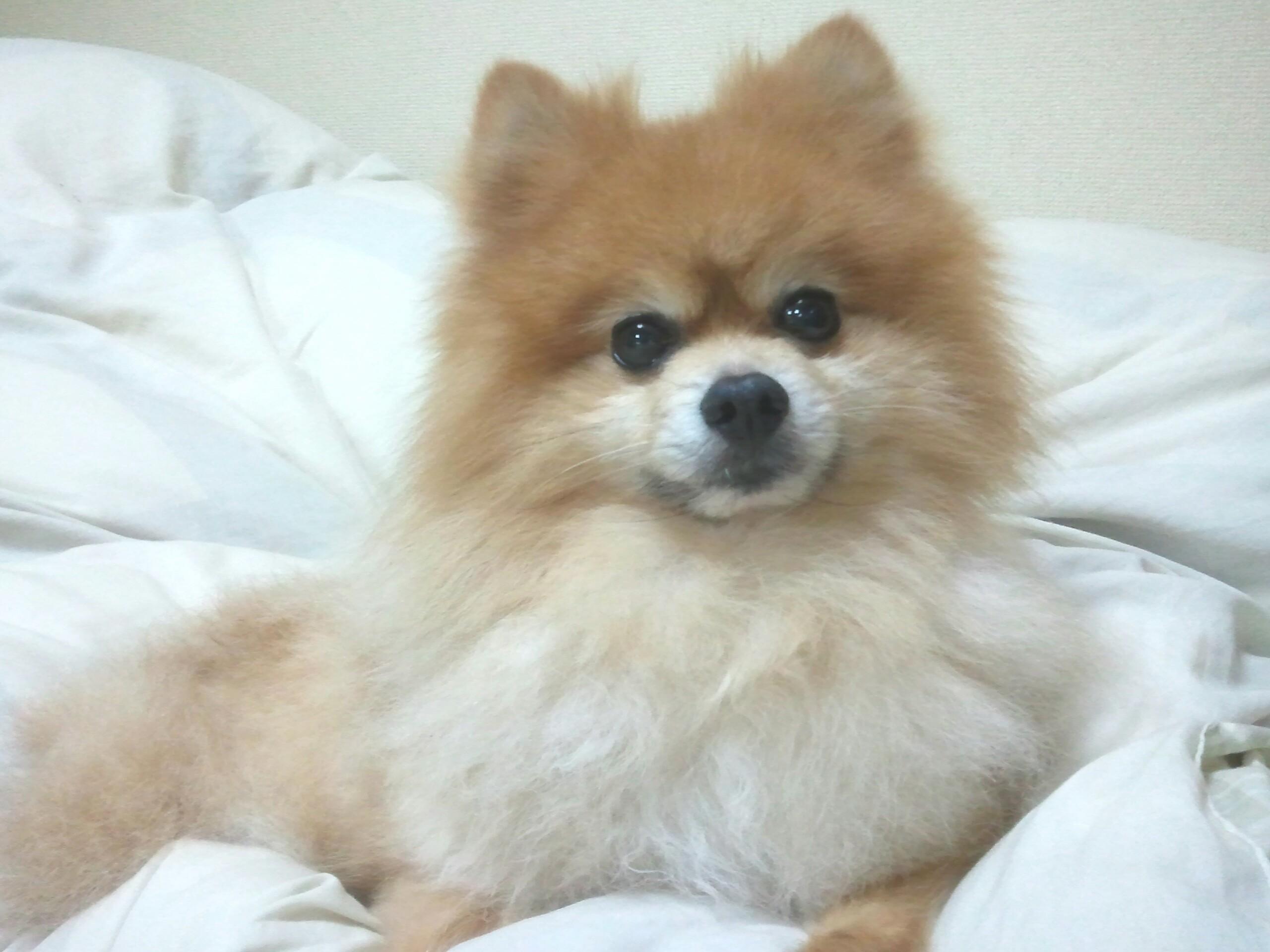世界一かわいい人気茶色ポメラニアン小さいなペット愛犬写真画像