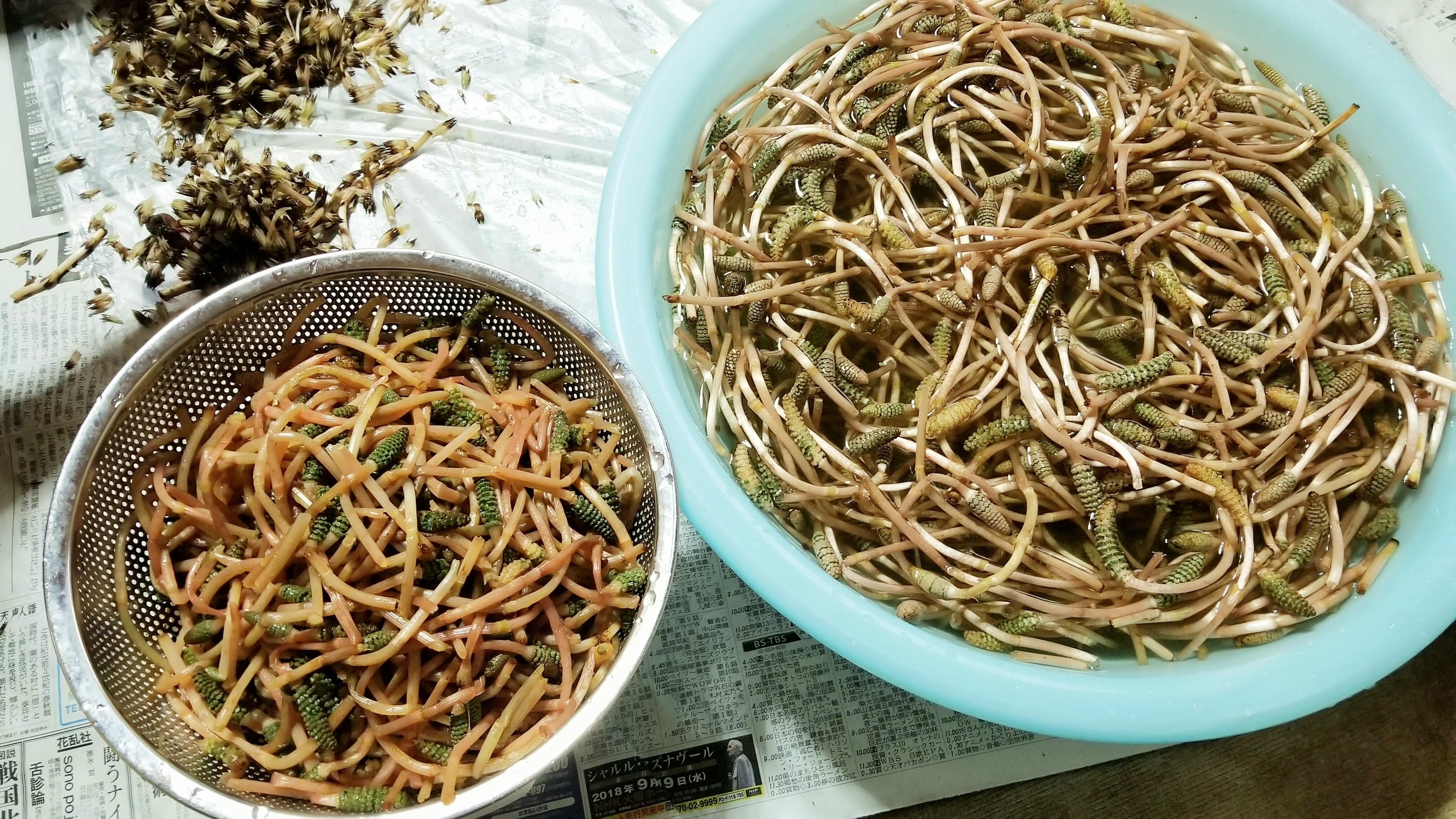 つくし土筆咲く時期愛媛県下ごしらえ効果処理料理食べ方レシピ画像