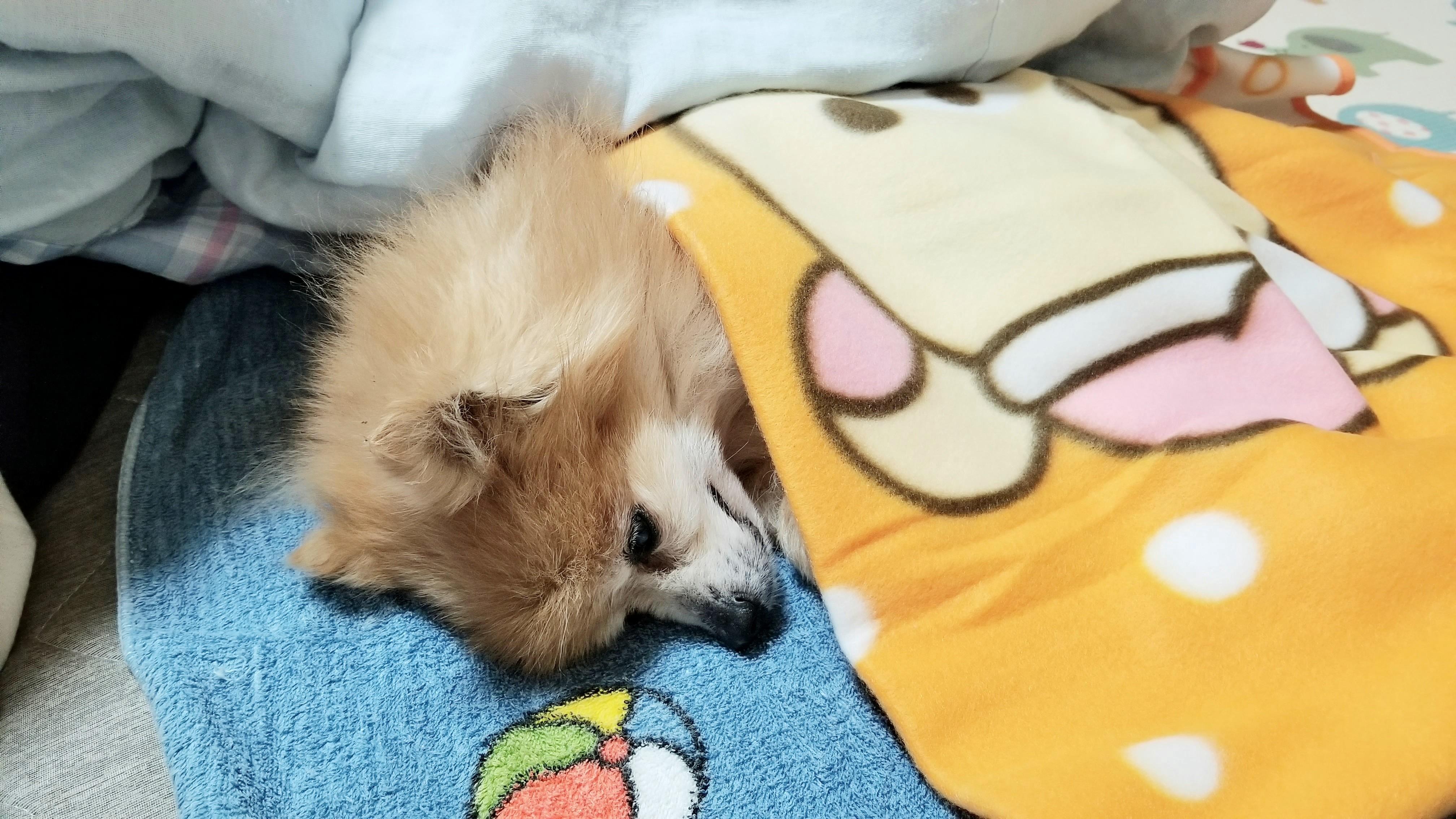 愛犬老犬動物ペット病気元気がない歩けない立てない寝たきり生活