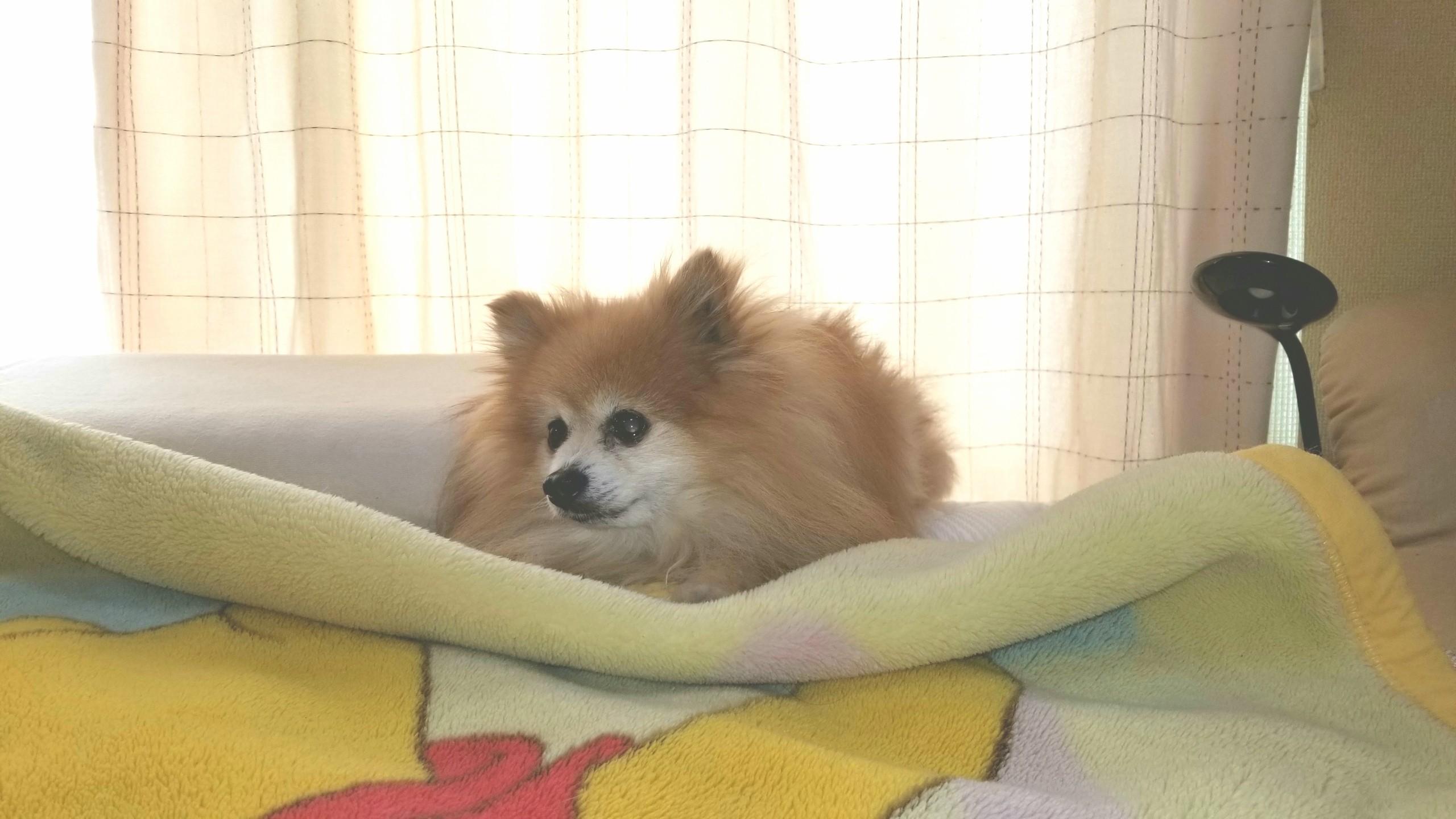 愛犬家お気に入りのダブルベッド,かわいいポメラニアン,ペットは家族