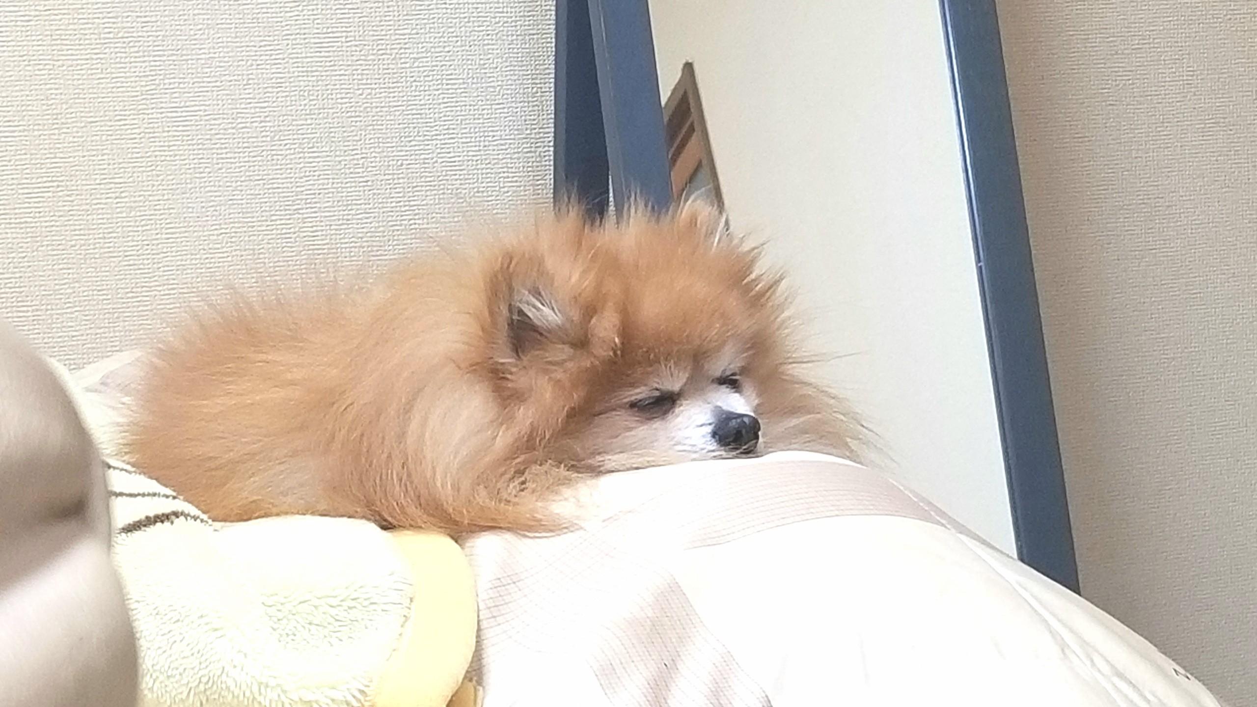 世界一かわいいポメラニアン,人気有名犬ペット,寝顔癒し,もふもふ