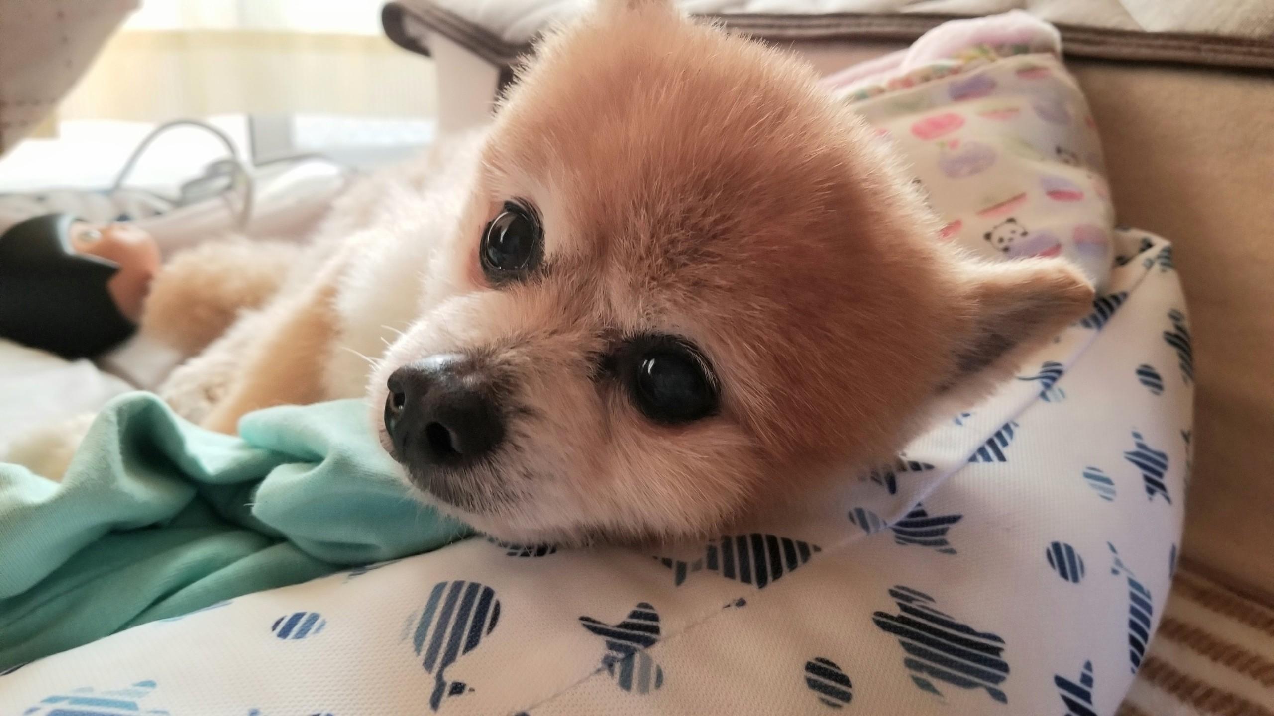 愛犬老犬ペット人気のポメラニアンぬいぐるみみたい世界一かわいい