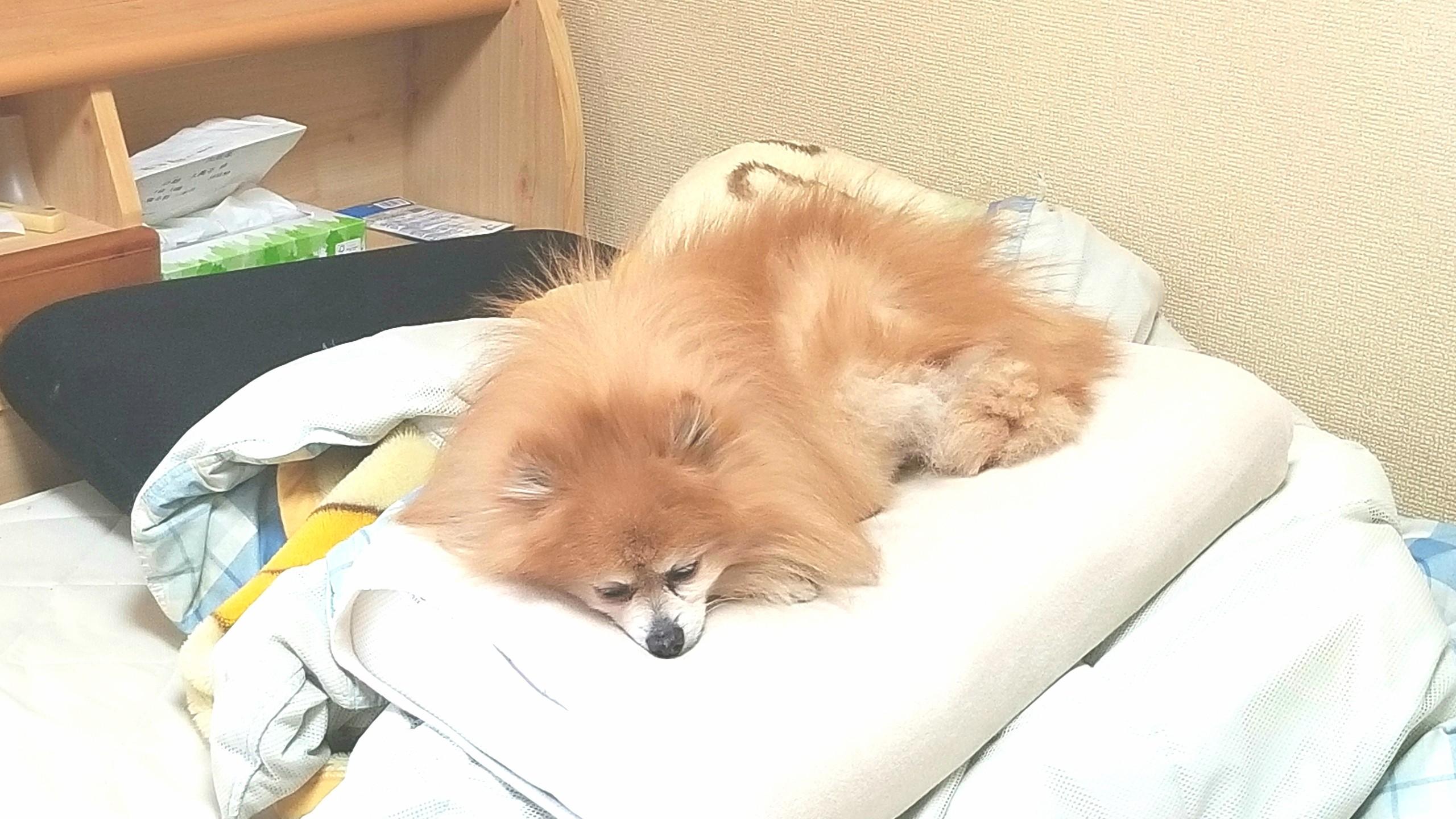 世界一かわいいポメラニアン,大好きな愛犬,ペットは家族,いる暮らし