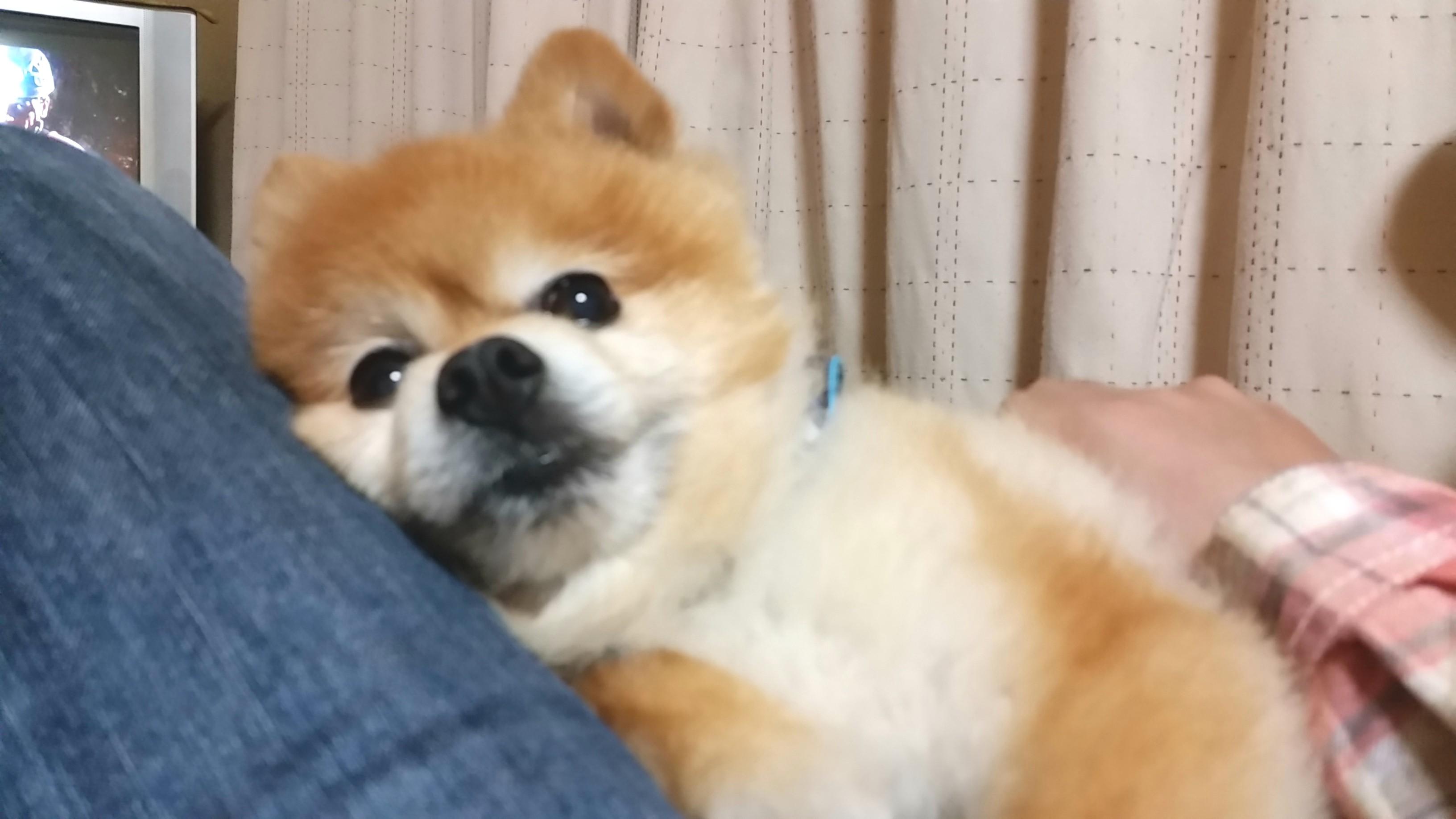 ペット,犬,ポメラニアン,ぬいぐるみみたい,まんまる,柴犬カット,可愛
