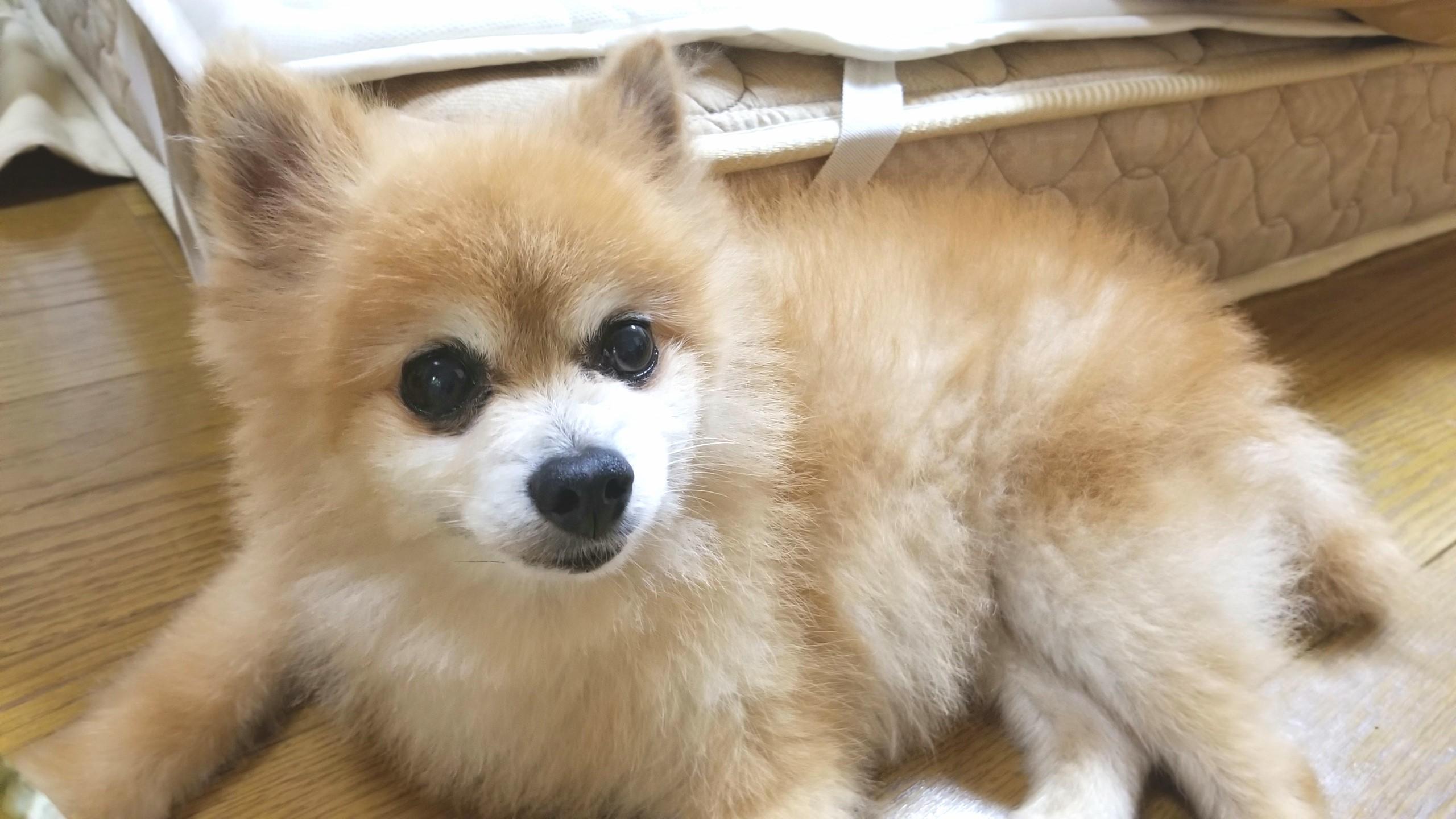 犬,ポメラニアン,ペット,動物,可愛い,大好き,ラブ,アレルギー,可哀想