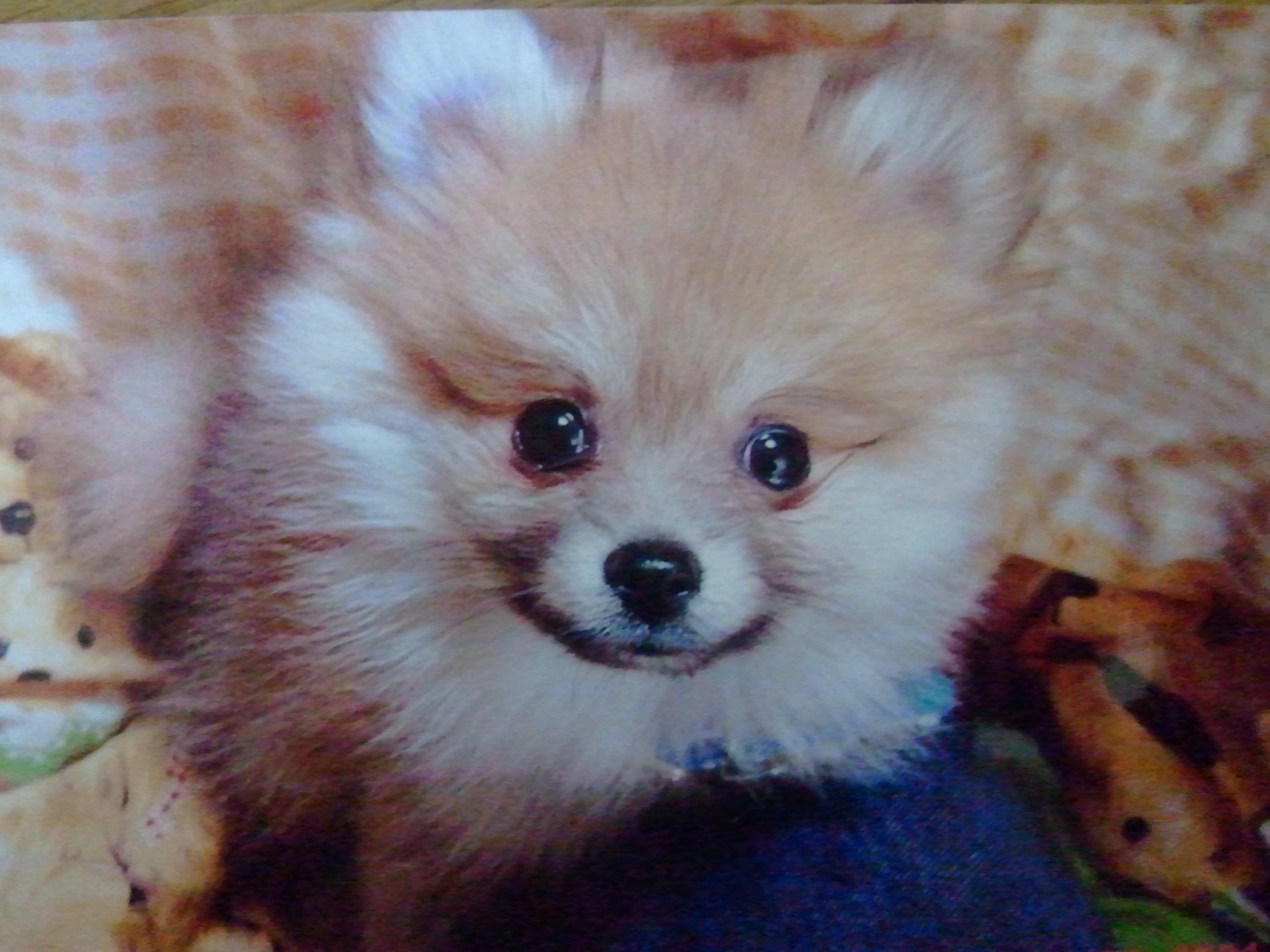 ペット,仔犬,赤ちゃん,かわいい,可愛いポメラニアン,生後45日,懐かし