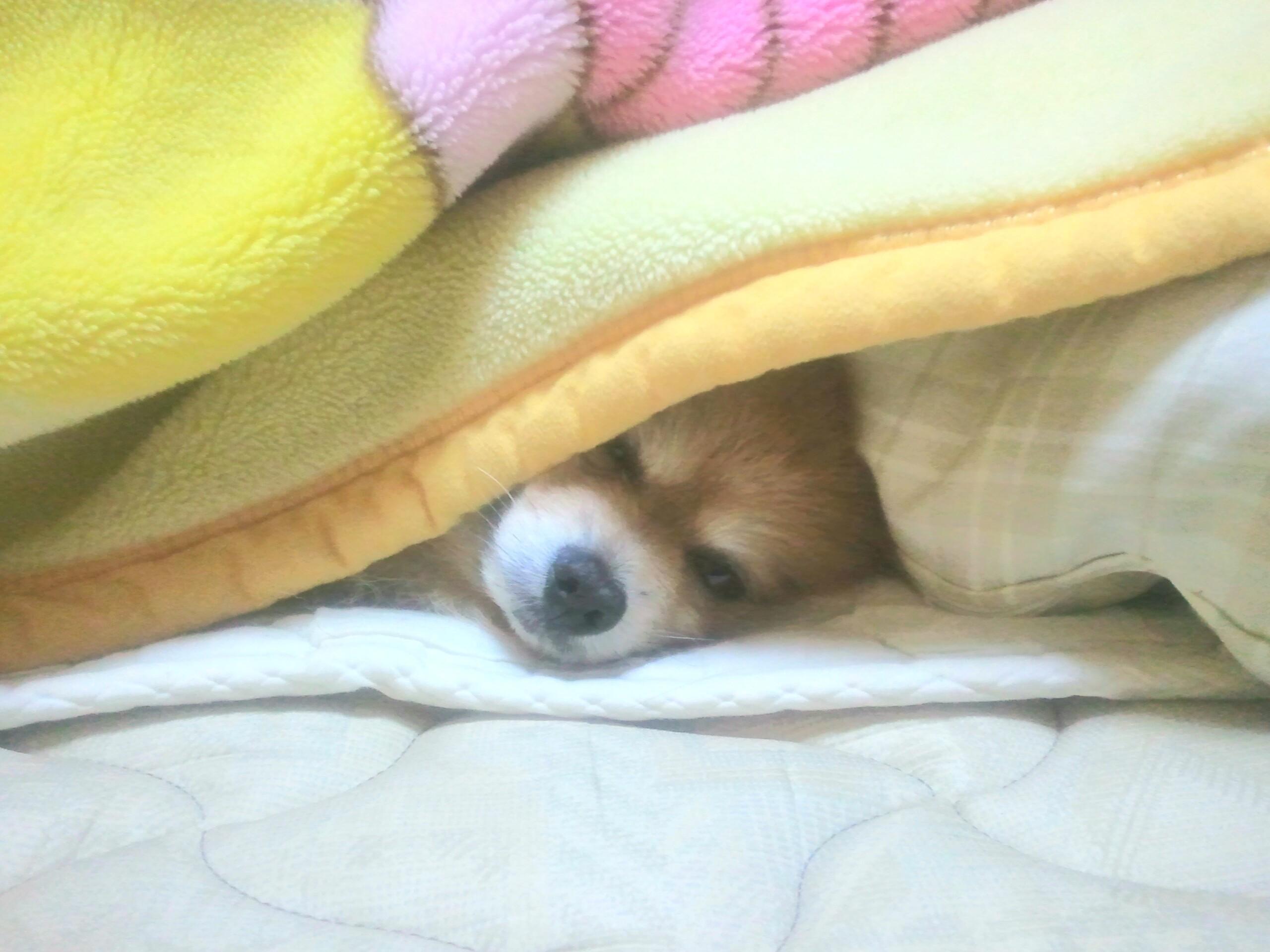 世界一かわいい犬大好きポメラニアン寝顔のぞき見てね気持ちいい